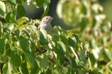 Field Sparrow - Mendon Ponds - © Dick Horsey - Jul 21, 2016