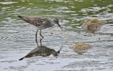 Lesser Yellowlegs - King's Bend Park - © Dick Horsey - Jul 22, 2016