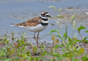 Killdeer - King's Bend Park - © Dick Horsey - Jul 22, 2016