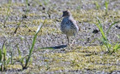 Spotted Sandpiper - High Acres Nature Area - © Dick Horsey - Jul 27, 2016