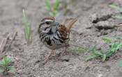 Song Sparrow - Brickyard Trail - © Dick Horsey - Jul 31, 2016