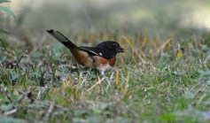 Eastern Towhee - Whiting Road Nature Preserve - © Dick Horsey - Aug 03, 2016