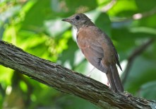 Veery - Whiting Road Nature Preserve - © Dick Horsey - Aug 03, 2016