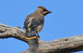 Cedar Waxwing (Juv) - Beatty Point - © Dick Horsey - Aug 07, 2016