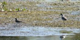 Solitary Sandpiper (L) and Greater Yellowlegs (R) - High Acres Nature Area - © Dick Horsey - Aug 09, 2016