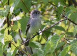 Willow Flycatcher - Hamlin Beach Park - © Dick Horsey - Aug 19, 2016