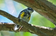 Yellow-rumped Warbler - Lakeview Church Trail - © Dick Horsey - Aug 22, 2016