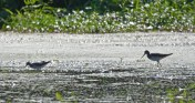 Lesser (L) and Greater (R) Yellowlegs - High Acres Nature Area - © Dick Horsey - Aug 30, 2016