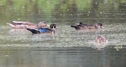 Wood Duck - High Acres Nature Area - © Dick Horsey - Aug 31, 2016