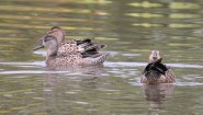 Blue-winged Teal - High Acres Nature Area - © Dick Horsey - Aug 31, 2016