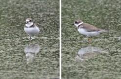 Semipalmated Plover - High Acres Nature Area - © Dick Horsey - Aug 31, 2016