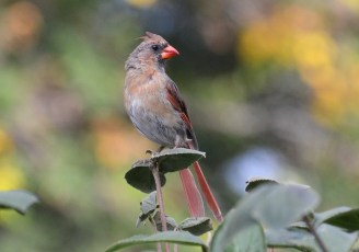 Northern Cardinal - Webster - © Peggy Mabb - Sep 27, 2016