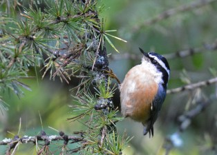 Red-breasted Nuthatch - Webster Park - © Dick Horsey - Oct 02, 2016