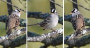 White-crowned Sparrow - Brickyard Trail - © Dick Horsey - Oct 04, 2016