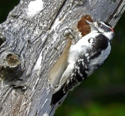 Downy Woodpecker - Irondequoit - © Eunice Thein - Oct 04, 2016