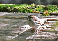 White-throated Sparrow - Cobbs Hill - © Dick Horsey - Oct 10, 2016