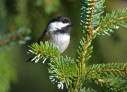 Black-capped Chickadee - Tinker Nature Park - © Dick Horsey - Oct 14, 2016