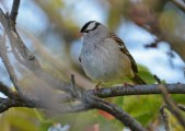 White-crowned Sparrow - High Acres Nature Area - © Dick Horsey - Oct 15, 2016