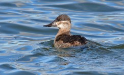 Ruddy Duck - Batavia WTP - © Dick Horsey - Oct 31, 2016