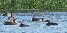 American Wigeon (Center) - High Acres Nature Area - © Dick Horsey - Nov 06, 2016