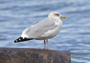 Herring Gull - Webster Park - © Dick Horsey - Nov 12, 2016