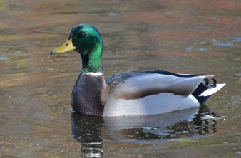 Mallard - Whiting Rd Nature Preserve - © Dick Horsey - Nov 12, 2016
