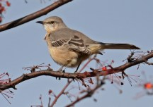 Northern Mockingbird - Whiting Rd Nature Preserve - © Dick Horsey - Nov 12, 2016