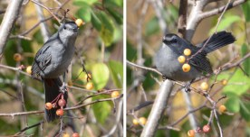 Gray Catbird - Whiting Rd Nature Preserve - © Dick Horsey - Nov 12, 2016