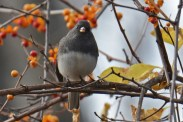 Dark-eyed Junco - Whiting Rd Nature Preserve - © Dick Horsey - Nov 12, 2016