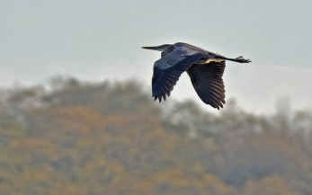 Great Blue Heron - Mendon Ponds - © Dick Horsey - Nov 18, 2016