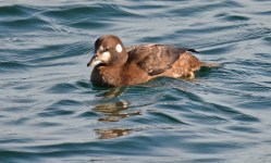 Harlequin Duck (F) - Irondequoit Bay Outlet - © Dick Horsey - Nov 18, 2016