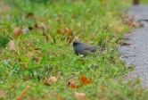 Dark-eyed Junco (Pink-sided) - Hamlin Beach Park - © Nick Kachala - Nov 25, 2016