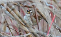 White-throated Sparrow - Hamlin Beach Park - © Dick Horsey - Nov 29, 2016
