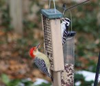 Red-bellied Woodpecker (L) and Hairy Woodpecker (F - R) - Irondequoit - © Candace Giles - Dec 10, 2016