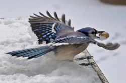 Blue Jay - Webster - © Peggy Mabb - Dec 10, 2016