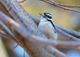 Downy Woodpecker - Durand Eastman Park - © Dick Horsey - Jan 06, 2017