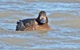 Lesser Scaup - Summerville Pier - © Dick Horsey - Jan 06, 2017