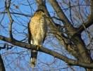 Cooper's Hawk - Greece - © Carol Shay - Jan 06, 2017
