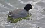 American Coot - Irondequoit Bay Outlet - © Dick Horsey - Jan 13, 2017