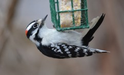 Downy Woodpecker - Mendon Ponds - © Dick Horsey - Jan 14, 2017
