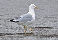 Ring-billed Gull - Irondequoit Bay Outlet - © Dick Horsey - Jan 23, 2017