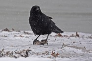 American Crow - Irondequoit Bay Outlet - © Dick Horsey - Jan 31, 2017