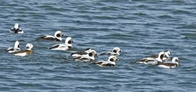 Long-tailed Duck - Irondequoit Bay Outlet - © Candace Giles - Feb 03, 2017