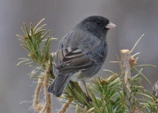 Dark-eyed Junco - Webster - © Peggy Mabb - Feb 05, 2017