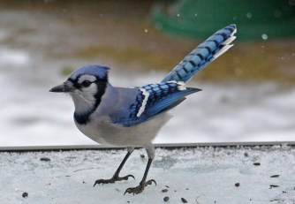 Blue Jay - Webster - © Peggy Mabb - Feb 06, 2017