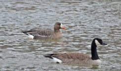 Greater White-fronted Goose - Genesee Valley Park - © Dick Horsey - Feb 08, 2017