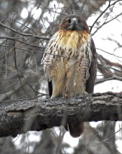 Red-tailed Hawk - Irondequoit - © Candace Giles - Feb 09, 2017