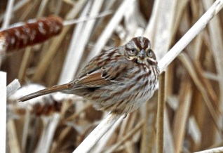 Song Sparrow - Irondequoit - © Candace Giles - Feb 09, 2017