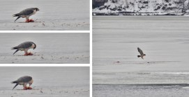 Peregrine Falcon - Irondequoit Bay Outlet - © Dick Horsey - Feb 11, 2017