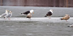 Great Black-backed Gull with Herring Gull - Cranberry Pond - © Carol Shay - Feb 22, 2017